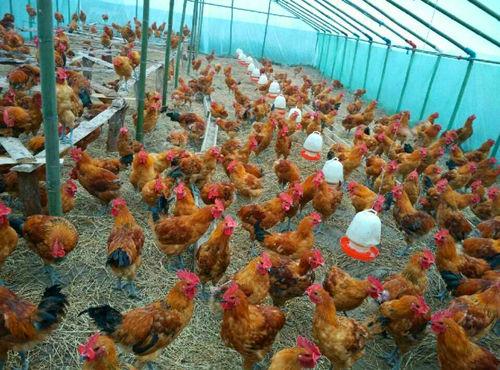 夏季鸡舍降温很重要